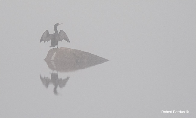 Cormorant on rock drying its wings in the fog. by Robert Berdan ©