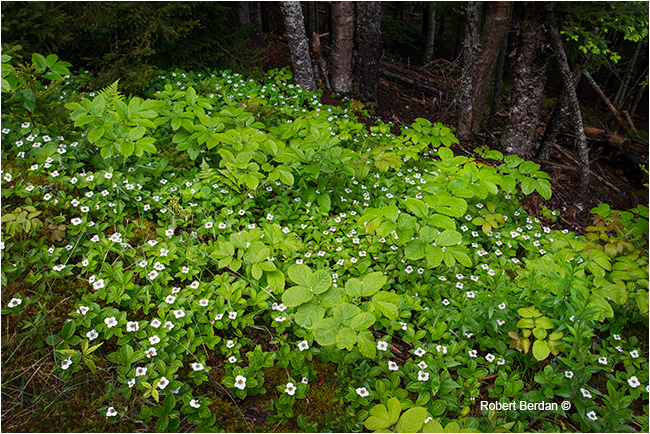 Bunchberry, Fundy National park by Robert Berdan ©