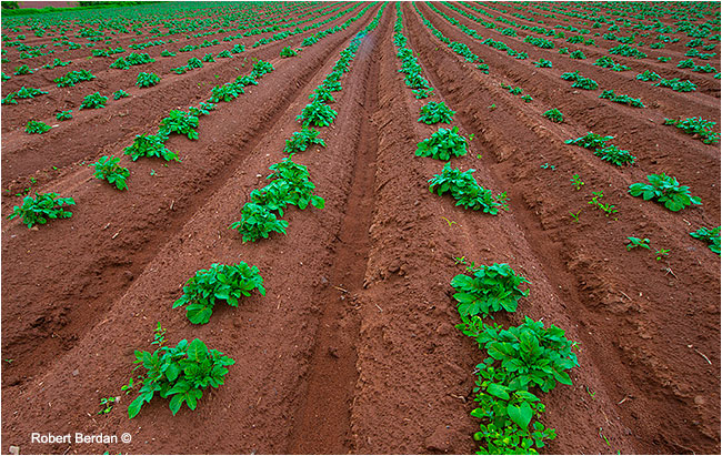 Field of potatoes PEI by Robert Berdan ©