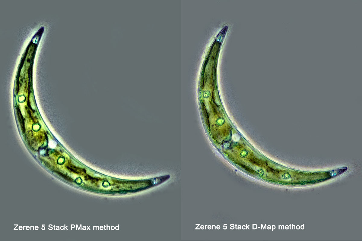 Desmid Closterium sp positive phase contrast 400X 5 images stacked in Zerene by Robert Berdan ©