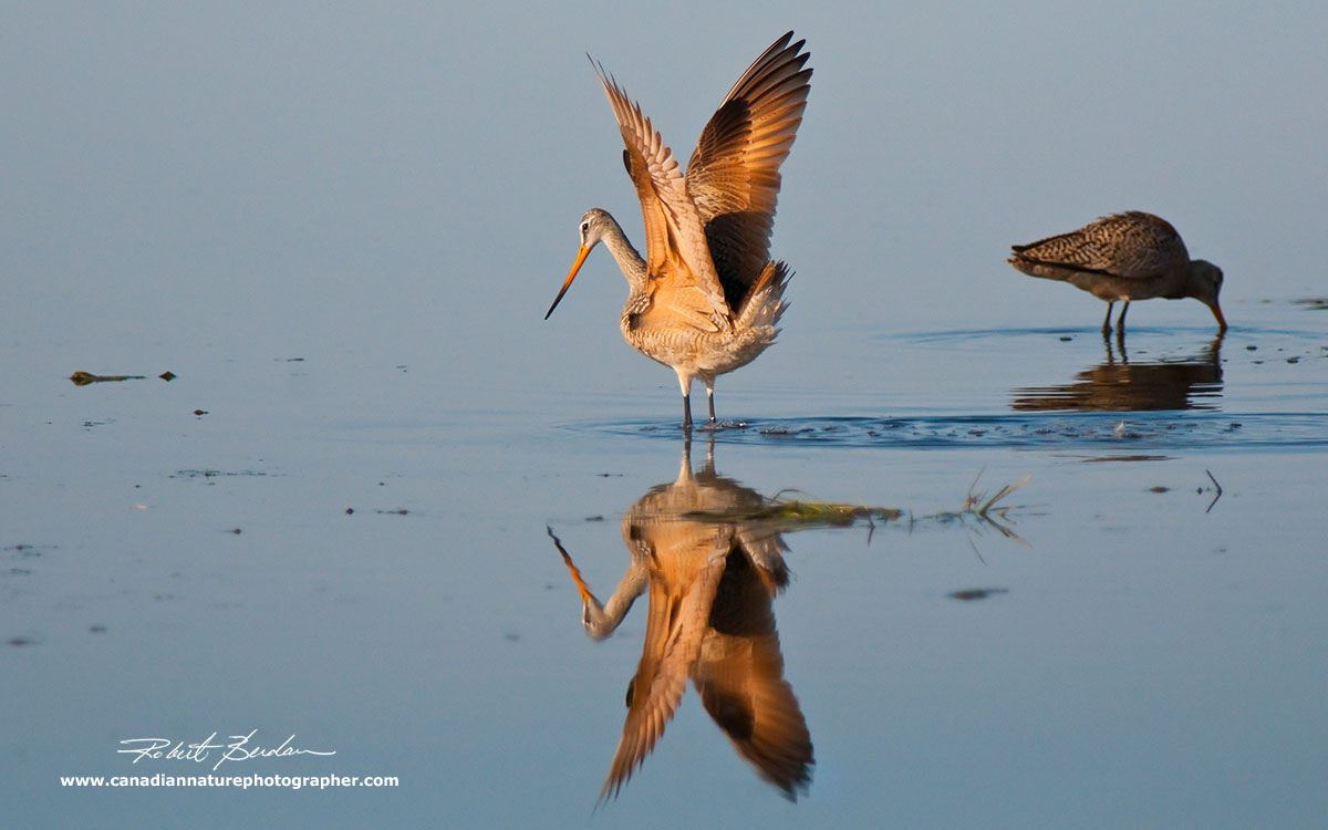 Marbled Godwit photographed in early morning light by Robert Berdan ©