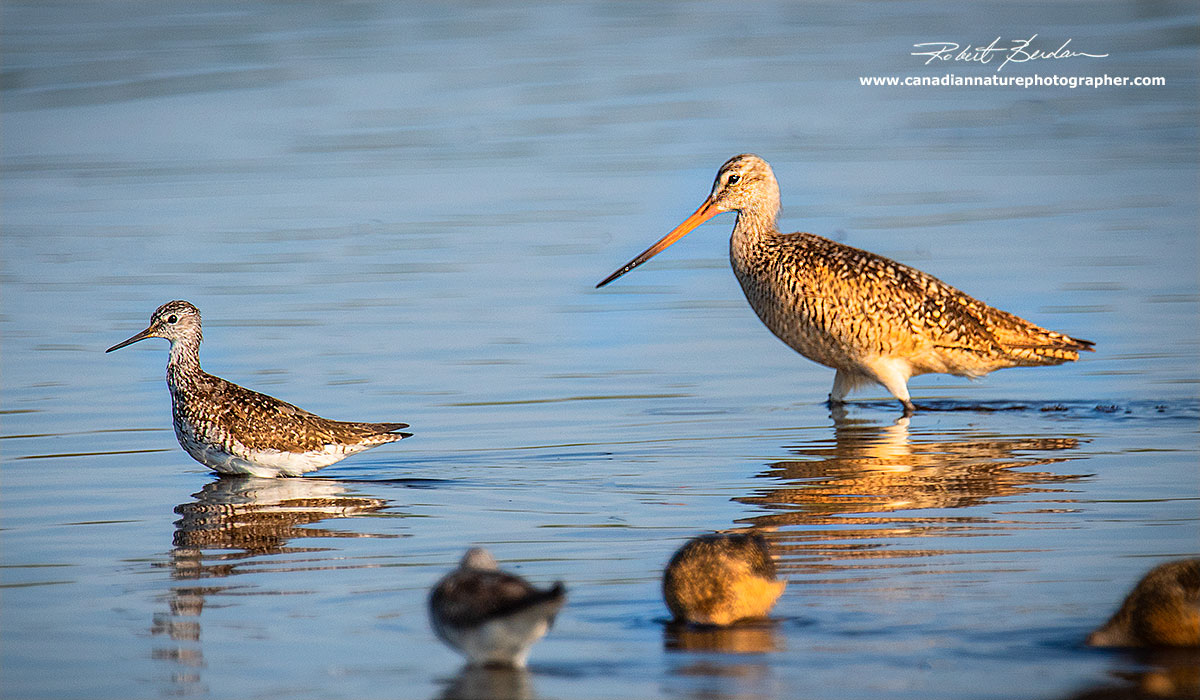 On the left is a Greater Yellow-legs and on the right the larger bird is a Marbled godwit by Robert Berdan ©