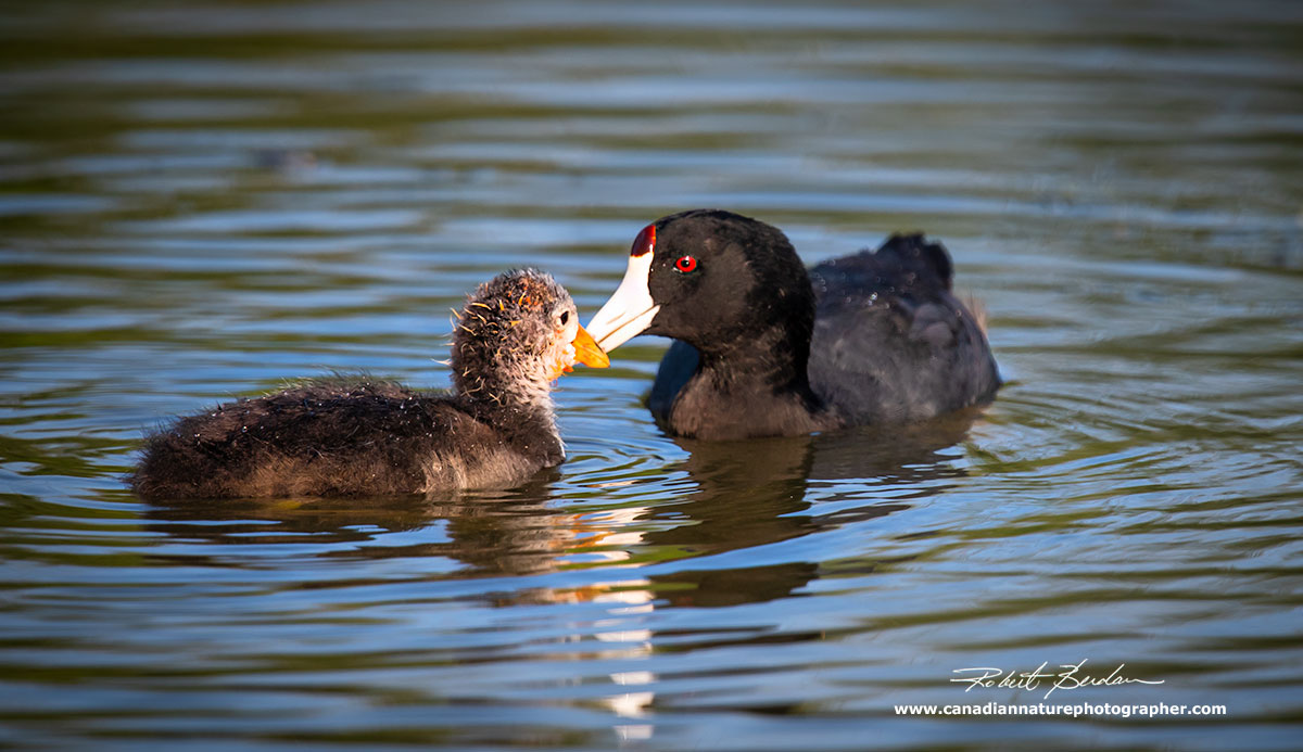 American coot feeding young by Robert Berdan ©