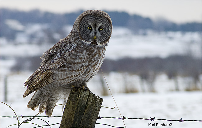 Great Gray Owl by Karl Berdan ©