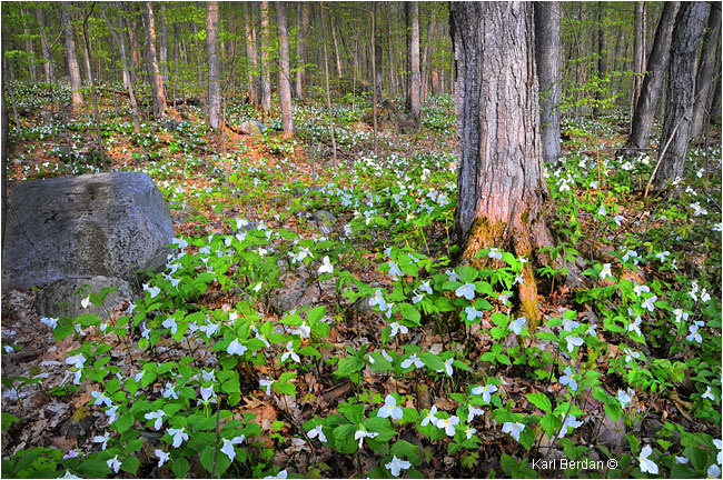 Forest with Trilliums blooming K. Berdan ©