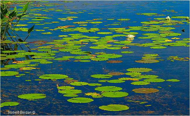 Lilly pads in Wye Marsh Wildlife Centre Midland, Ontario by Robert Berdan ©