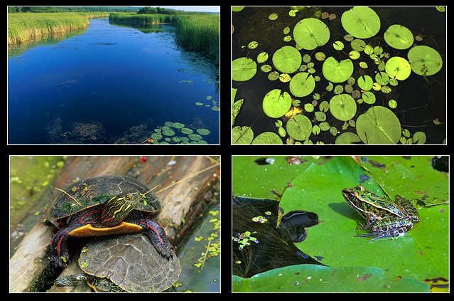 Wye Marsh, Water Lillies, painted turtle and leopard frog by Robert Berdan ©