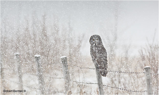 Great gray owl on fence post in winter snowstorm by Robert Berdan ©