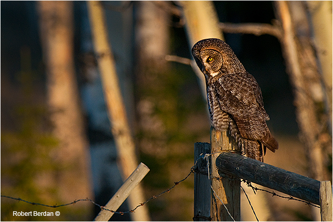 Great gray owl on fence by Robert Berdan ©