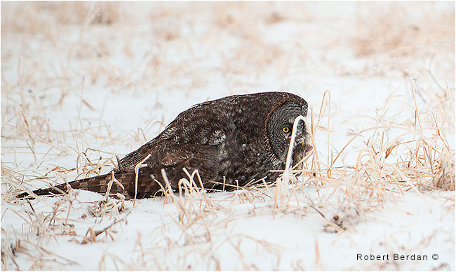 Great gray owl feeing on a vole by Robert Berdan