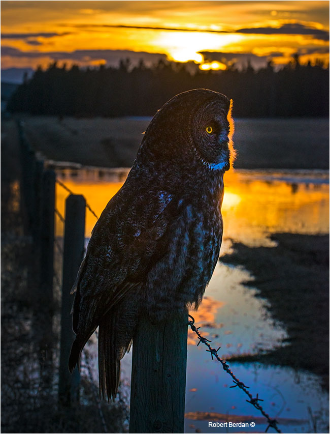 Great Gray owl at sunset on fence post Grande Valley Road by Robert Berdan ©