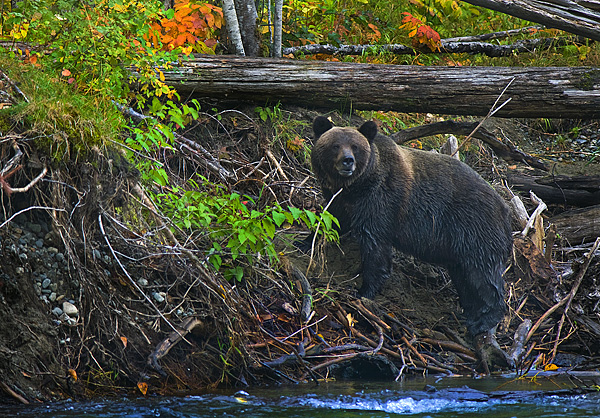 Large Grizzly bear on the bank of the Atnarko River, Bella Coola, by Robert Berdan ©