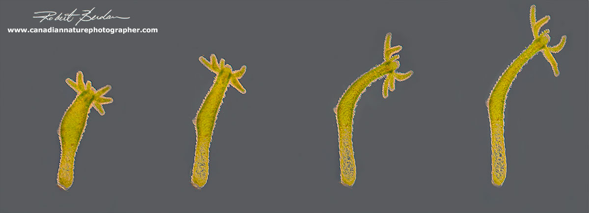 Hydra can range in size from 0.5 mm to 10 mm in length and their bodies are highly contractile by Robert Berdan ©