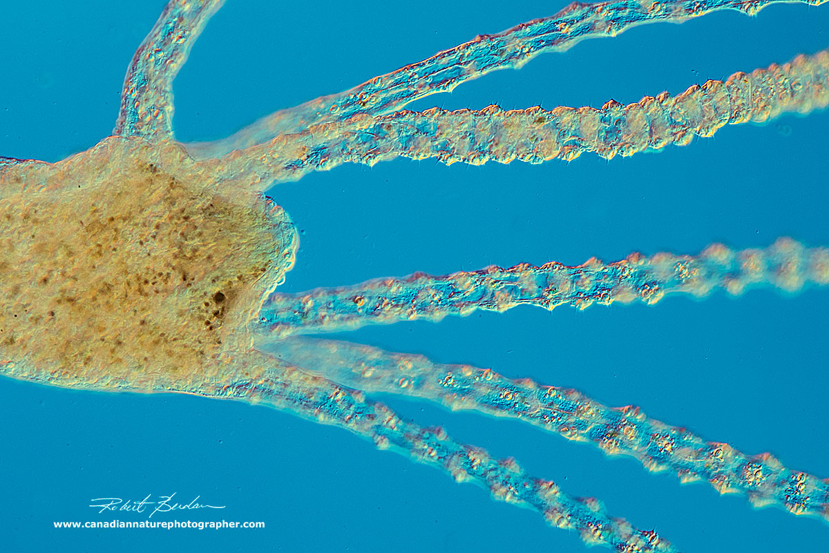 Hydra hydranth showing the tentacles which are packed with cnidoblasts - stinging cells by Robert Berdan ©