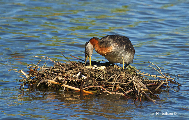 Red-necked Grebe at the nest turning eggs by Ian Neilson ©