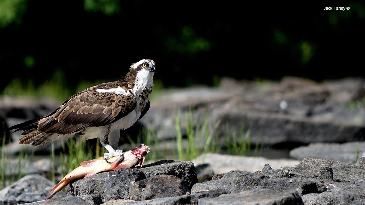 Osprey with fish by Jack Farley ©