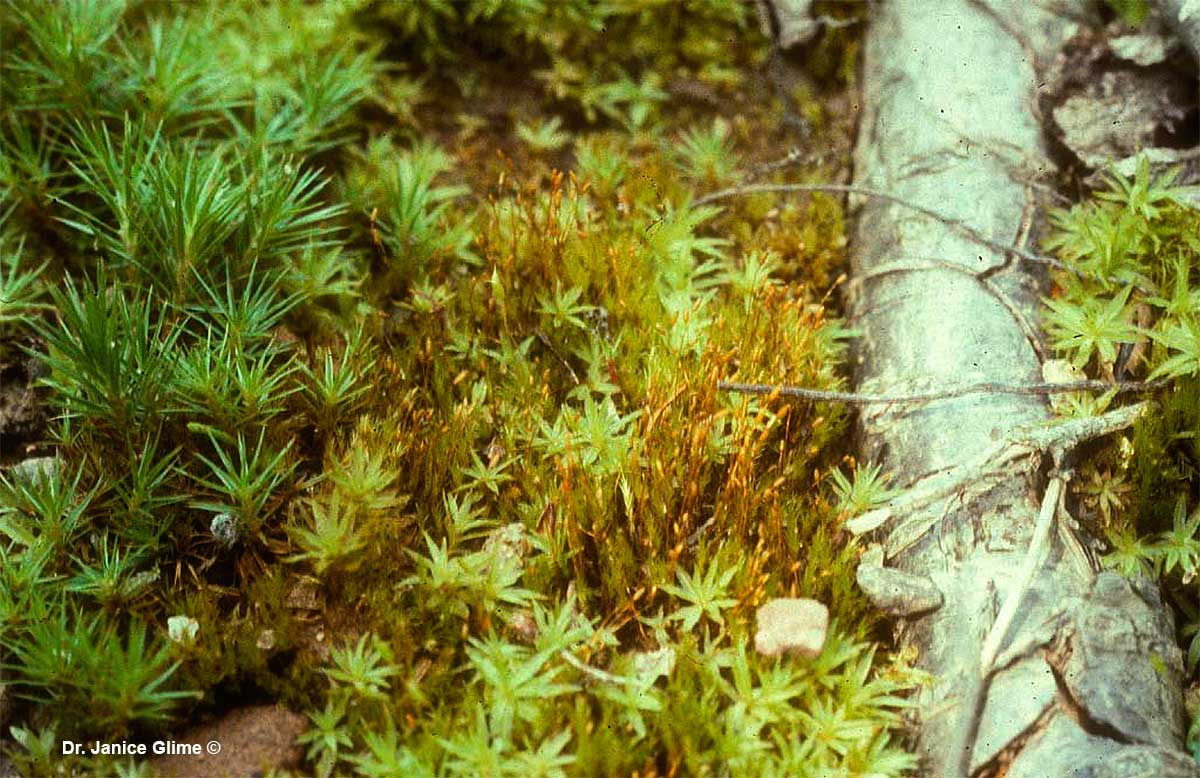 Bryophytes, forming their own communities on a microscale by Dr. Janice Glime ©