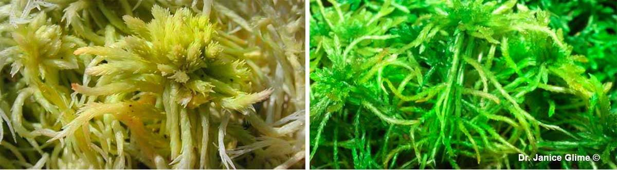 Left: Spagnum fimbriatum showing capitulum where archegonia will arise. Right: Sphagnum girgensohnii by Dr. Janice Glime ©