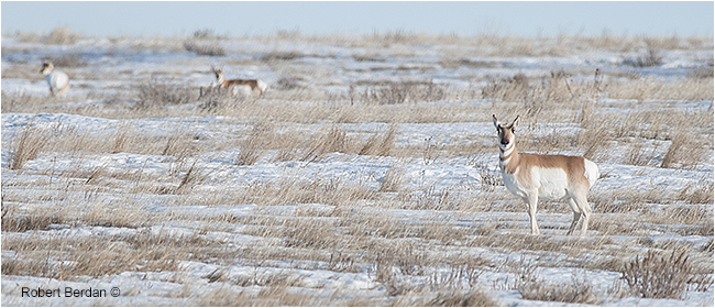 Pronghorns in south east Alberta in winter by Robert Berdan ©