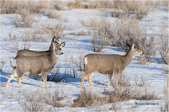 Mule deer family in Dinosaur provincial park by Robert Berdan ©