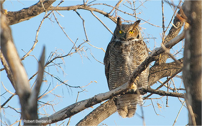 Great horned owl in tree by Robert Berdan ©