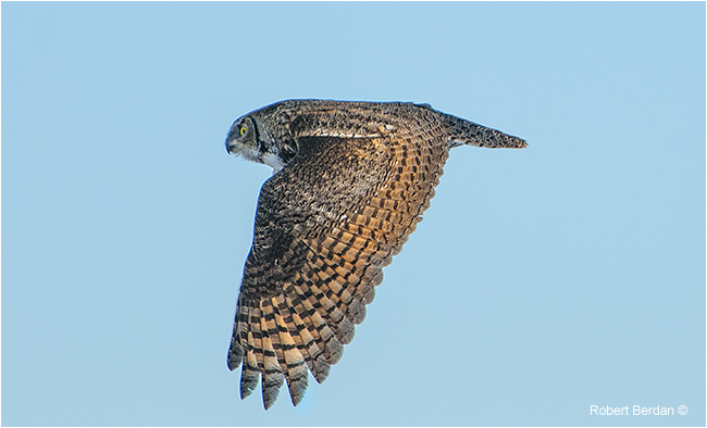 Great horned owl in flight by Robert Berdan ©