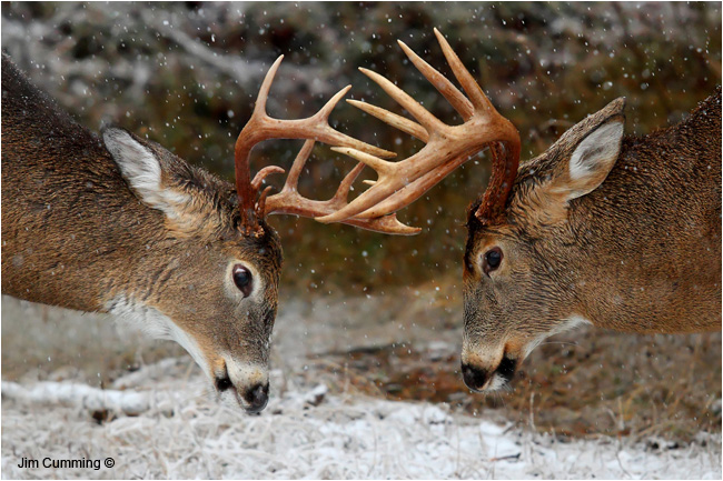 Clash of the Titans - I watched as the 2 big bucks playfully fought each other by Jim Cumming ©