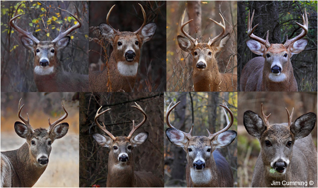 Eight of the Ten bucks I photographed in this years rut by Jim Cumming ©