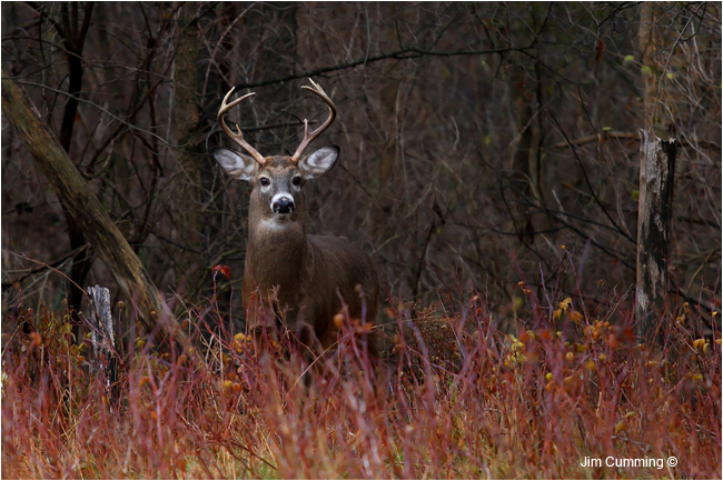 On Alert - a new buck emerges from the bushes and spies a doe as well as a couple of eager photographers by Jim Cumming ©