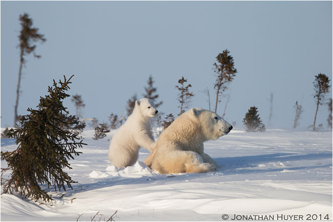 Mother and cub polar bear emerging from den near Churchill by Jon Huyer ©