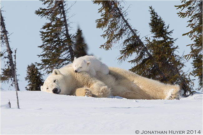 Mom and baby polar bear on snow by Jon Huyer ©