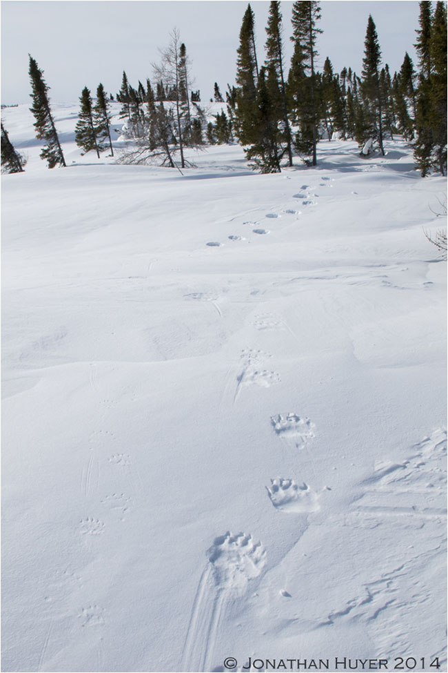Polar bear tracks in the snow by Jon Huyer ©