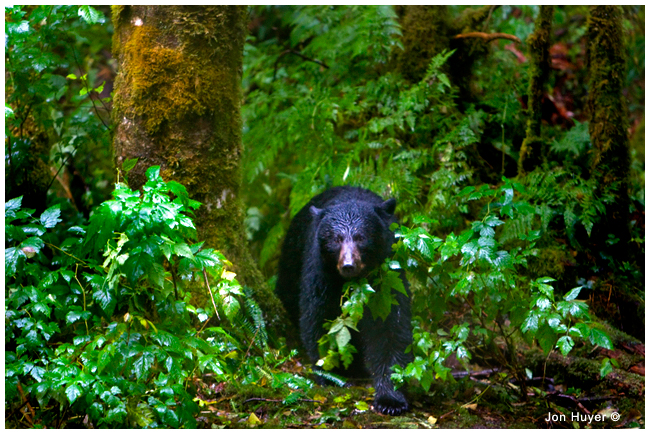 Black bear in the rainforest by Jon Huyer ©