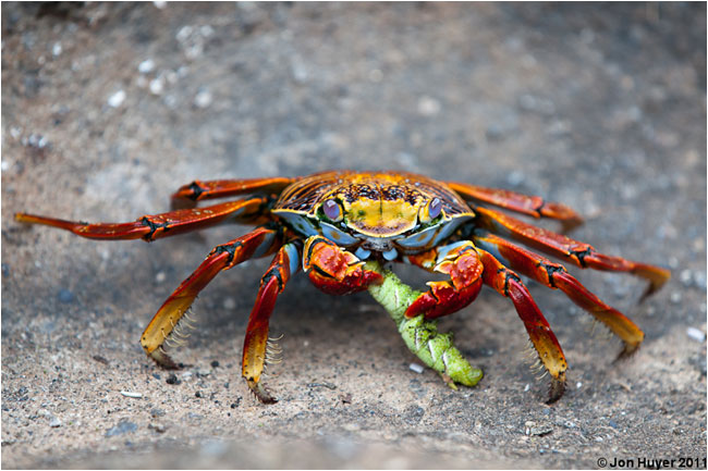 Sally Lightfoot Crab by Jon Huyer ©
