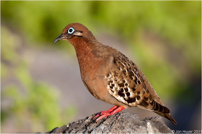 Galapagos Dove by Jon Huyer ©