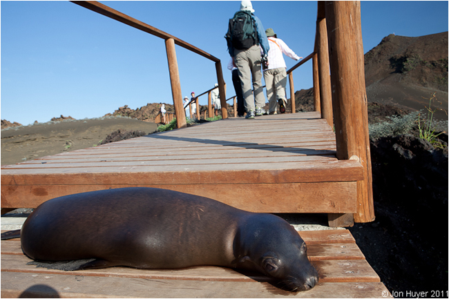 sea lion on walkway by Jon Huyer ©
