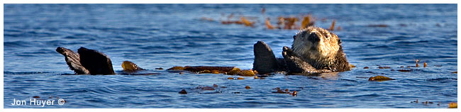 Sea Otter by Jon Huyer ©