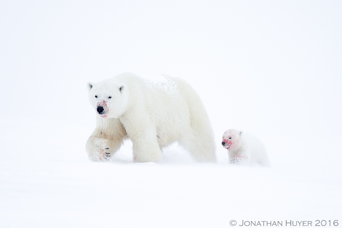 Polar bears into the Blizzard by Jonathan Huyer ©