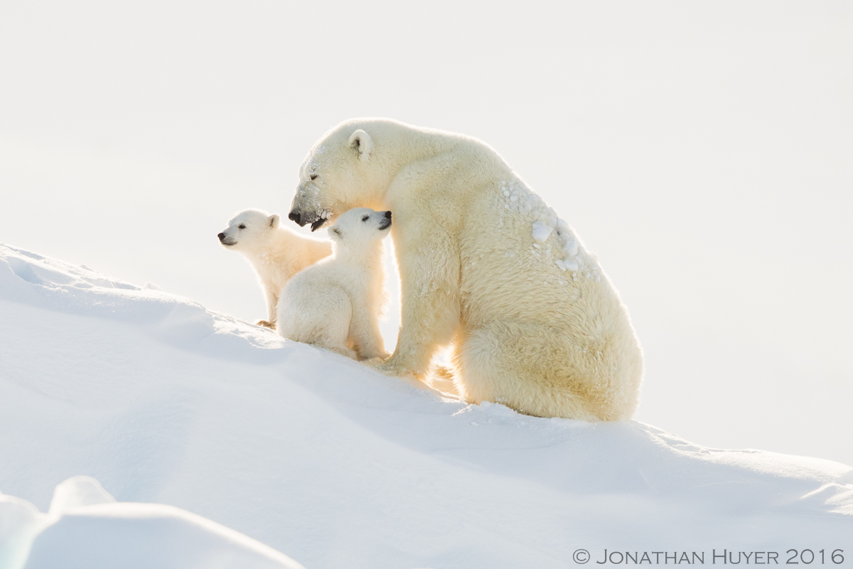 Mom and polar bear cubns with backlighting by Jonathan Huyer ©