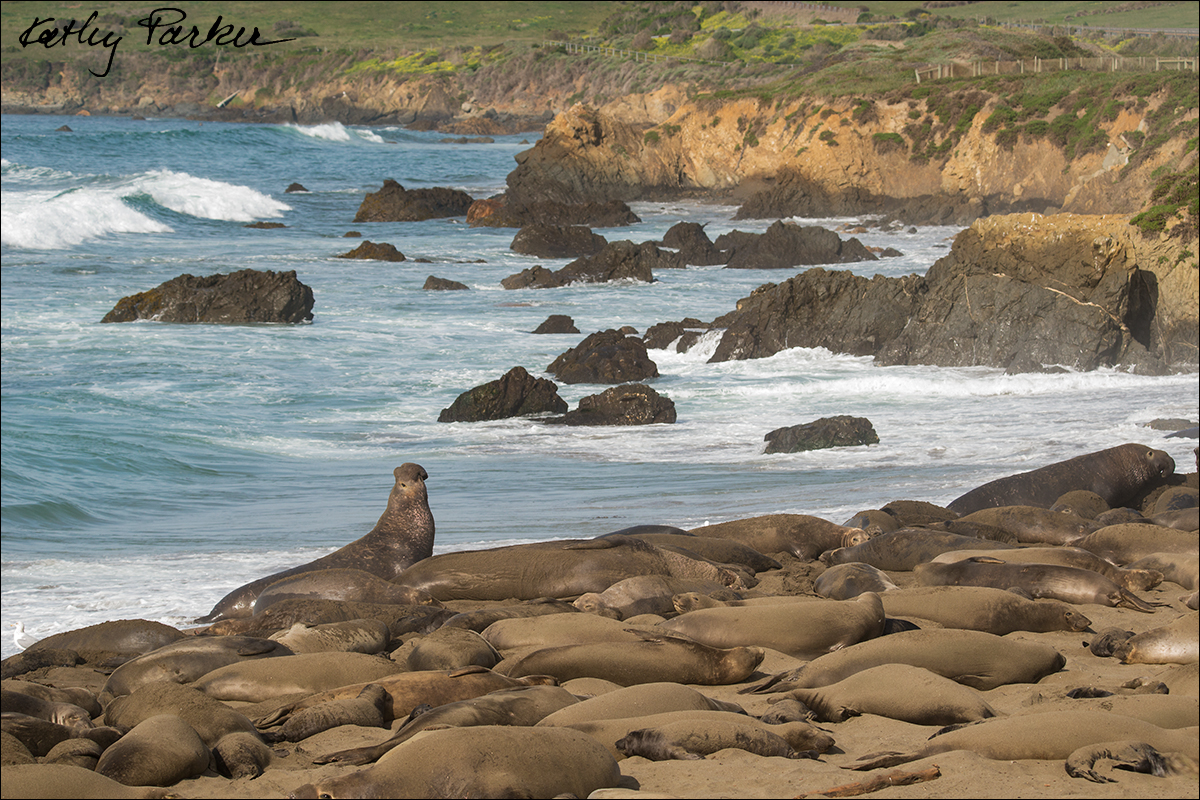 Northern elephant seals at Piedras Blancas by Kathy Parker ©