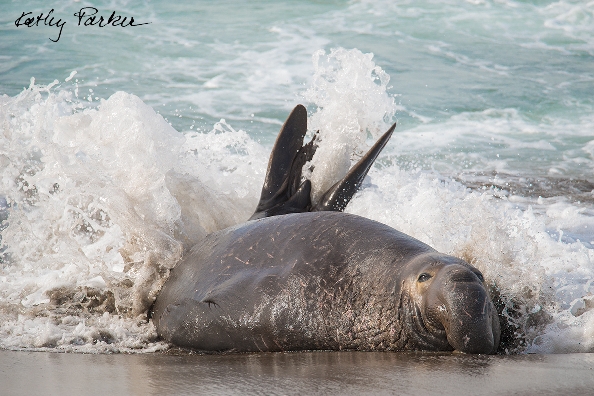 Male northern elephant seal by Kathy Parker ©