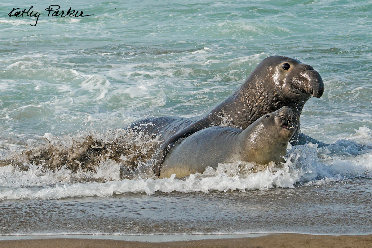 Northern elephant seal and pup by Kathy Parker ©