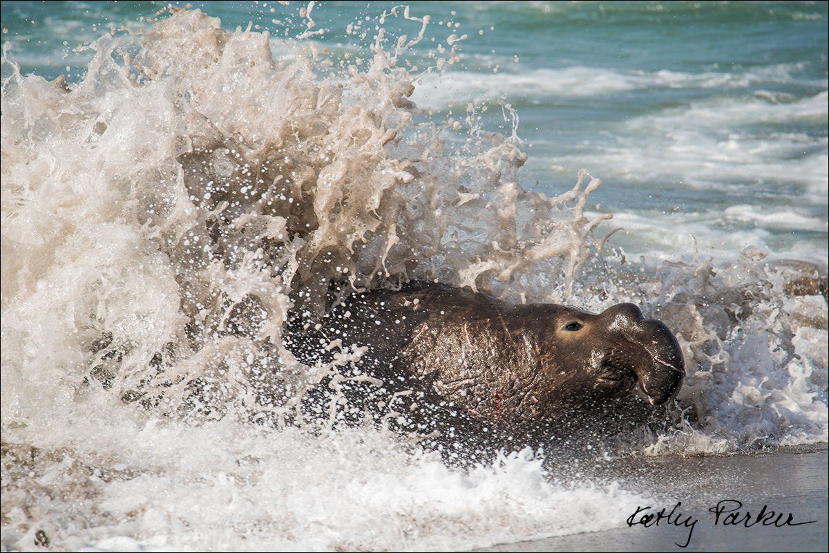 Non-dominant male Northern Elephant seal by Kathy Parker ©