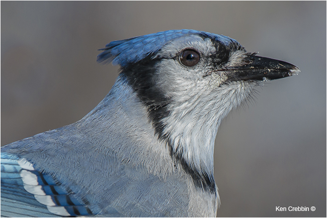 Bluejay by Ken Crebbin ©