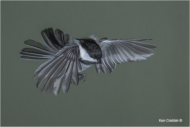 Chicakadee in flight by Ken Crebbin ©