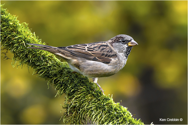 House Sparrow by Ken Crebbin ©