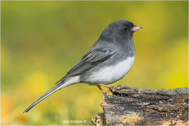 Junco by Ken Crebbin ©