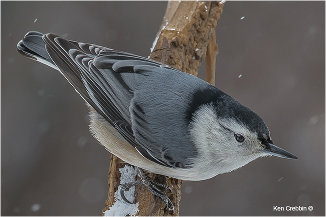 White Breasted Nuthatch by Ken Crebbin ©