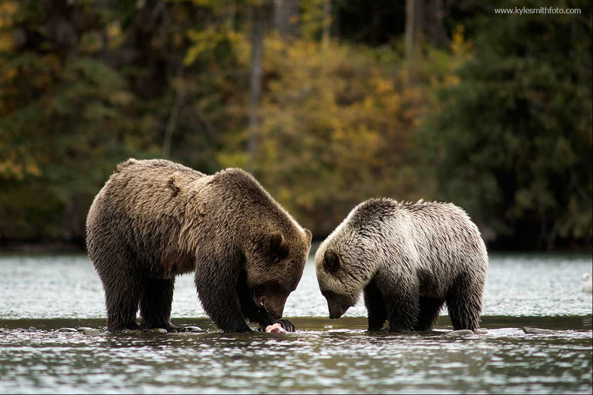 A sow and her cub share a meal on the river by Kyle Smith ©