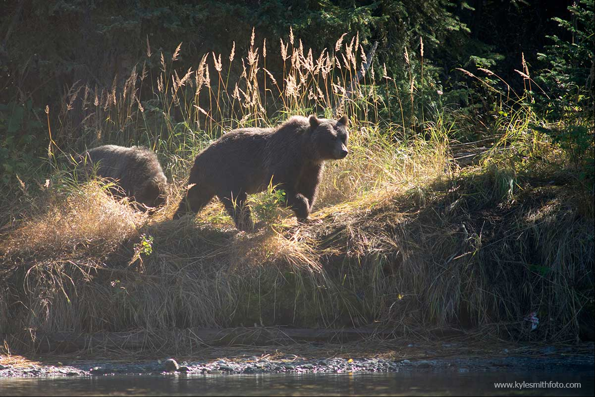 A sow and her cub patrol the river banks looking for an easy meal by Kyle Smith ©